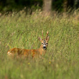 Roebuck with summer coat Royalty Free Stock Photography