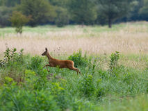 Roebuck walking Royalty Free Stock Photos