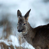 Roebuck-4 Royalty Free Stock Images