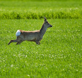 Roebuck on a wheat field Royalty Free Stock Images