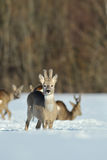 Roebuck in the winter Royalty Free Stock Photo