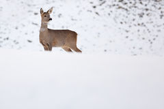 Roebuck  in winter Royalty Free Stock Image