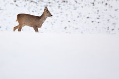 Roebuck  in winter Stock Photo