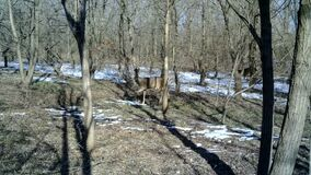 Roebucks, Capreolus capreolus, eat in a forest in a winter day. Bambi FullHD