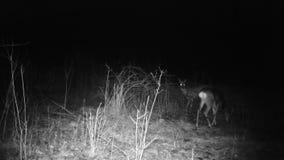Roebucks, Capreolus capreolus, eat in a forest in a winter night. Deers FullHD