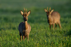 Roebucks at spring Royalty Free Stock Photos
