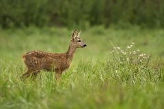 Roecalf feeding on grass Stock Images