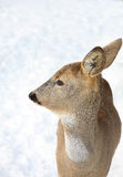 Roedeer Royalty Free Stock Images