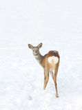 Roedeer Royalty Free Stock Photography