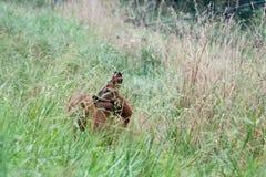 The roedeer. The wild roedeer in the meadow stock image