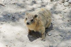 roedor Fotografía de archivo