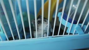 Roedor com fome O hamster cinzento rói dentro de uma gaiola, ansiosa à liberdade filme