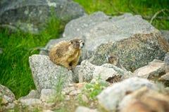 Roedor de la marmota en rocas Fotos de archivo