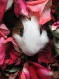 Roedor de los conejillos de Indias Fotografía de archivo libre de regalías
