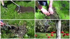 Roedor del topo que lucha con la trampa en jardín Acorta el collage almacen de metraje de vídeo