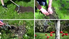 Roedor del topo que lucha con la trampa en jardín La cantidad acorta el collage almacen de metraje de vídeo