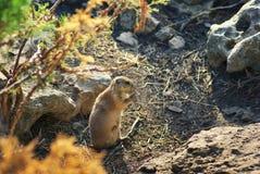 Roedor do cão de pradaria Natureza animal dos animais selvagens Fotos de Stock Royalty Free