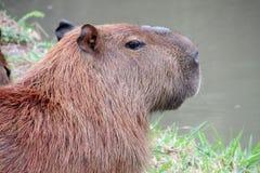 Roedor do Capybara Fotografia de Stock