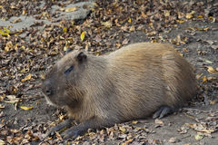 Roedor do Capybara em repouso Foto de Stock Royalty Free