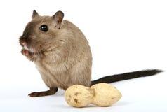 Roedor femenino con el cacahuete de la nuez de mono en blanco fotografía de archivo