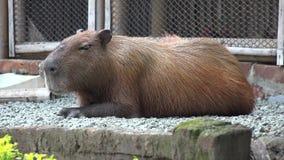 Roedores, Capybara, animales del parque zoológico, mamíferos, fauna almacen de metraje de vídeo