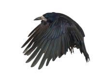 Roek, Corvus frugilegus, 3 jaar oud Royalty-vrije Stock Afbeeldingen