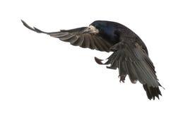 Roek, Corvus frugilegus, 3 jaar oud, het vliegen Royalty-vrije Stock Foto's