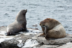 Roekenkolonie Noordelijke Zeeleeuw Het Schiereiland van Kamchatka, Avachinskaya-Baai Stock Afbeeldingen