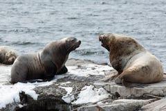 Roekenkolonie Noordelijke Zeeleeuw of Steller-Zeeleeuw kamchatka Royalty-vrije Stock Foto