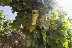 Roemeense druiven Royalty-vrije Stock Afbeeldingen