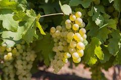 Roemeense druiven Royalty-vrije Stock Afbeelding