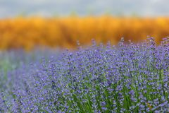 Roes of  lavender plant. Herbal landscape of aromatic plant Royalty Free Stock Photography