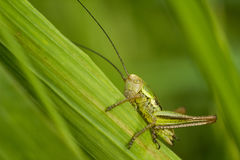 The Roesel`s bush-cricket Stock Photography