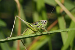 Roesel`s Bush-cricket Royalty Free Stock Image