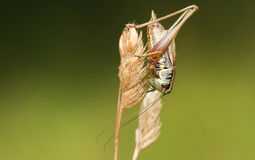 A Roesel`s bush Cricket Metrioptera roeselii perched on a grass seed head. Stock Photography