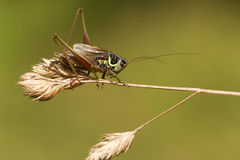 A Roesel`s bush Cricket Metrioptera roeselii perched on a grass seed head. Stock Photo