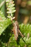 Roeselii di Metrioptera Fotografie Stock