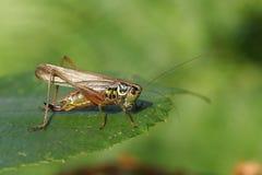 Roeselii Metrioptera Буш-сверчка ` s Roesel садилось на насест на краю лист Стоковое Изображение