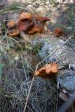 Roest het gekleurde paddestoel groeien op dood hout Stock Foto