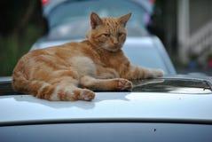 Roestig de kat Stock Foto's