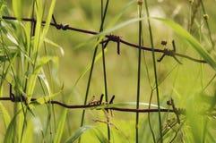 Roestig die prikkeldraad in een gras wordt verborgen Stock Foto's