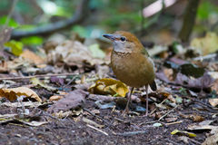 Roestig-Naped Pitta in Thailand Nationale Prk Royalty-vrije Stock Afbeelding