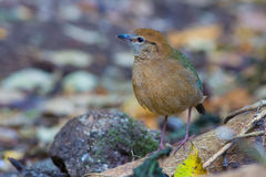 Roestig-Naped Pitta in Thailand Nationale Prk Stock Afbeelding