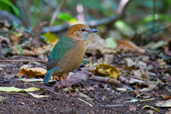 Roestig-Naped Pitta in Thailand Nationale Prk Stock Foto's