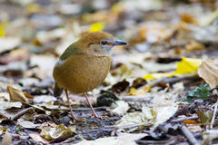 Roestig-Naped Pitta in Thailand Nationale Prk Royalty-vrije Stock Foto's