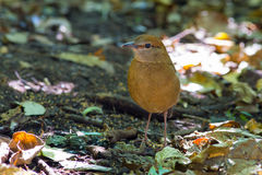 Roestig-Naped Pitta in Thailand Nationale Prk Stock Fotografie