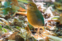 Roestig-Naped Pitta in Thailand Nationale Prk Royalty-vrije Stock Foto