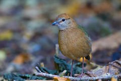 Roestig-Naped Pitta in Thailand Nationale Prk Stock Foto