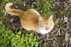 Roestige kat Royalty-vrije Stock Afbeelding