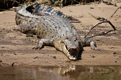 Roestige krokodil royalty-vrije stock foto